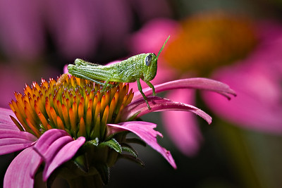 Katydid on Purple Coneflower Mercer Gardens, Houston, Texas 70-200mm w/500D diopter + Flash