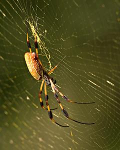 Golden Silk Spider - Brazos Bend State Park, Texas 500mm + 62mm extension tubes