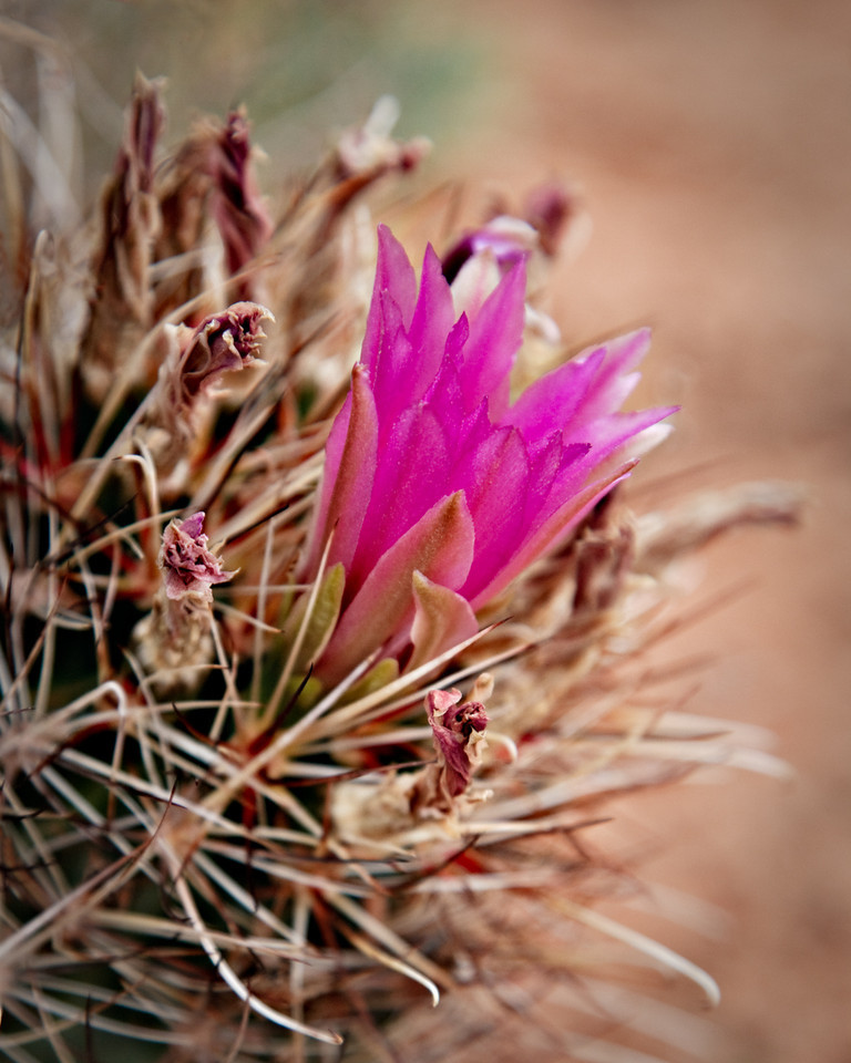 Fish Hook Cactus blossom